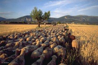 Transhumance des frères Menut, traversée du plateau de Valensole. Alpes de Haute Provence