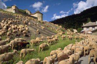 Transhumance des frères Menut, passage à Colmars les Alpes. Alpes de Haute Provence