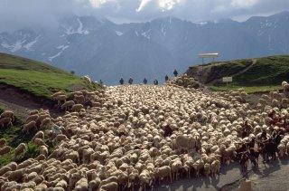 Transhumance des frères Menut, passage au col d'Allos. Alpes de Haute Provence