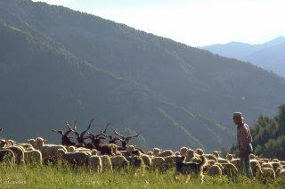 Pascal, berger au col d'Allos, rassemble son troupeau