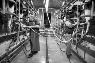 La traite des vaches à Longueville, hameau de Saint-Baudille et Pipet. Novembre 2015