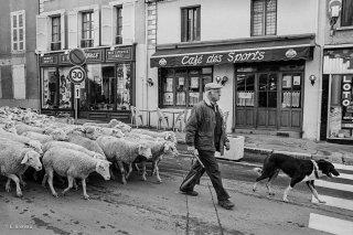 Mens. Retour de la transhumance du troupeau de la famille Plançon. Constant conduit le troupeau. Novembre 2002