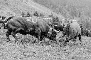 Lutte des vaches d'Hérens au cours de l'Inalpe sur l'alpage des Grands Plans à Verbier. Valais Suisse