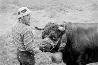 Combat des reines des vaches d'Hérens dans les arènes romaines à Martigny. Valais Suisse