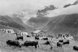 Inalpe des vaches d'Hérens sur l'alpage de la Forclaz dans le Val d'Hérens. Valais Suisse
