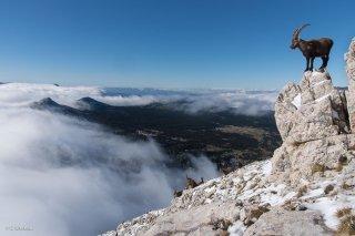 Bouquetin mâle sur les hauts-plateaux du Vercors. Isère