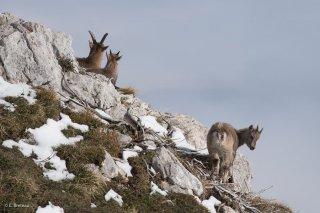 Etagne et jeunes bouquetins. Réserve naturelle des hauts plateaux du Vercors. Isère