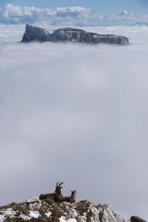 Etagne (bouquetin femelle) et jeune bouquetin devant le mont Aiguille. Réserve naturelle des hauts plateaux du Vercors.