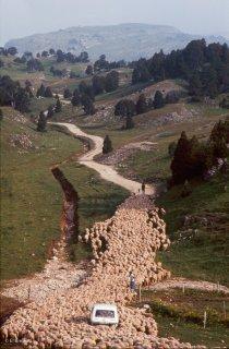 Arrivée d'un troupeau transhumant au Vallon de Combeau