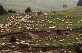 Arrivée du troupeau transhumant vers la bergerie de Chamousset
