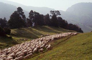 Arrivée du troupeau transhumant au Vallon de Combau