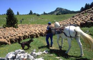 Arrivée du troupeau transhumant au Pas de Chabrinel