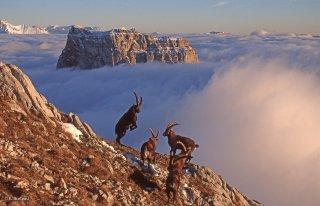 Période du rut du bouquetin. Combats entre mâles devant le Mont-Aiguille