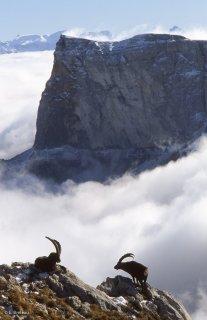 Deux bouquetins mâles devant le Mont-Aiguille