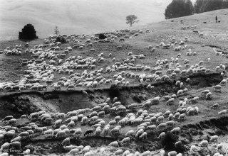 Arrivée du troupeau transhumant vers la cabane de Chamousset