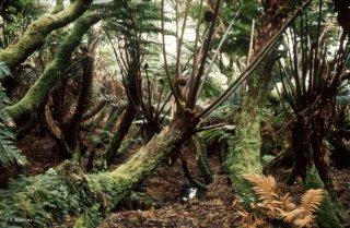 Ile Alexander Selkirk. Forêt de fougères arborescentes