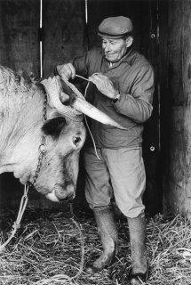 Pierre Nivon installe le joug de ses boeufs pour aller labourer à Saint-Martin d'Août dans la Drôme. Décembre 2002