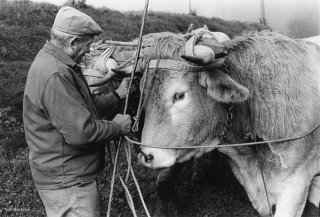 Pierre Nivon laboure avec ses bœufs à Saint-Martin d'Août dans la Drôme. Décembre 2002