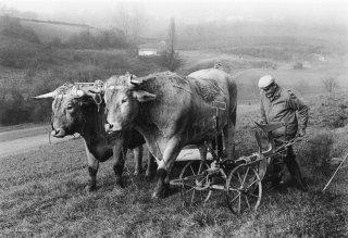 Pierre Nivon se prépare à labourer avec ses bœufs à Saint-Martin d'Août dans la Drôme. Décembre 2002
