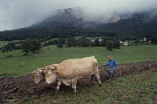 Pierre Nivon fait une démonstration de labours avec ses boeufs à Saint-Martin en Vercors. Août 2002