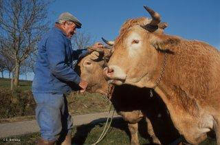 Pierre Nivon avec ses boeufs de labours à Saint-Martin d'Août dans la Drôme. Décembre 2002