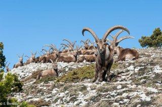 Harde de vieux bouquetins mâles dans la réserve des Hauts-Plateaux du Vercors