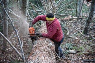 Eric Messa, bûcheron, ébranche un arbre. Chantier à Châtel en Trièves, Isère