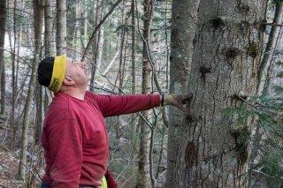 Eric Messa bûcheron estime la direction de la chute de l'arbre. Chantier à Châtel en Trièves, Isère