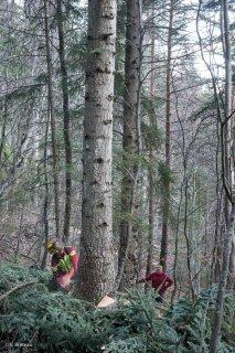 Florian Mathieu, bûcheron, abat un arbre. Chantier à Châtel en Trièves, Isère