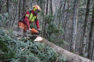 Florian Mathieu, bûcheron, prépare le pied de l'arbre pour le débardeur. Chantier à Châtel en Trièves, Isère