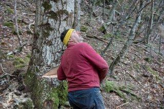 Eric Messa bûcheron a préparé l'entaille qui donnera la direction de la chute de l'arbre. Chantier à Châtel en Trièves, Isère