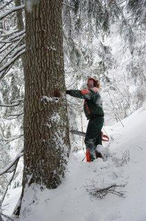 Observation de l'arbre avant de l'abattre