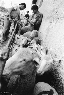 Christian et Bernard, éleveurs, marquent les brebis avant le départ en transhumance. Var