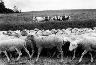 La transhumance des moutons, de Mens à la Salette