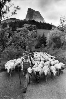 Raymond conduit la transhumance des brebis de Chichilianne à Gresse en Vercors