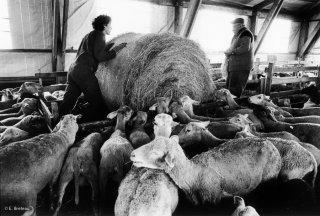 Les brebis restent à la bergerie tout l'hiver