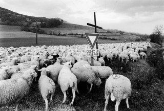 Les moutons font la transhumance retour de La Salette à Mens
