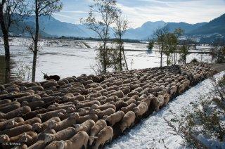 Retour de la transhumance des moutons, de la Salette à Mens