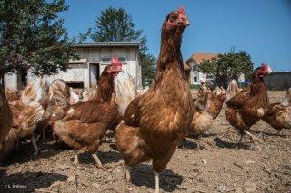 GAEC du Champs fleuri à Sinard, élevage de poules, de boeufs et veaux charolais