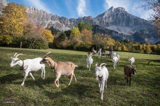 Troupeau de chèvres du Cris-Cath, ferme auberge à Tréminis, devant le Grand Ferrand