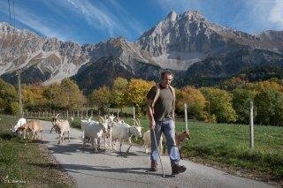 Troupeau de chèvres du Cris-Cath, ferme auberge à Tréminis, avec Christian devant le Grand Ferrand