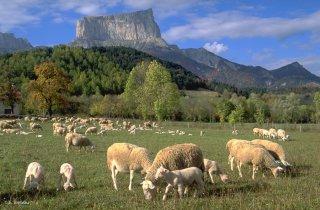 Agneaux et brebis devant le mont Aiguille